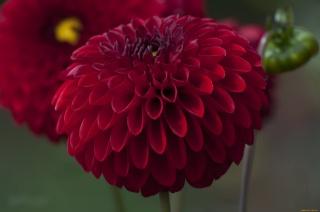 flowers, Dahlia, macro, photo, theme