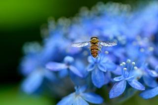 гортензия, Голубые, лепестки, цветы, насекомое, макро, размытость, природа