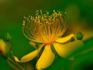 macro, flower, yellow, leaves, green background