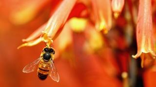 пчела, макро, красота, цветы