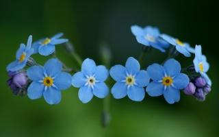 forget-me-nots, flowers, Blue, blue