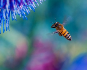 včela, makro, krása, let