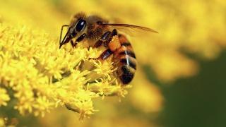včela, makro, krása