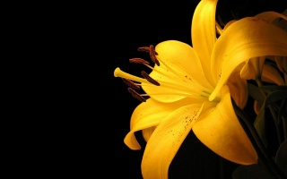 Lily, yellow