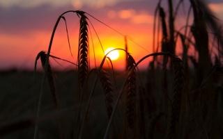 макро, пшеница, рожь, поле, колосья, колоски, закат, солнце, вечер, фон
