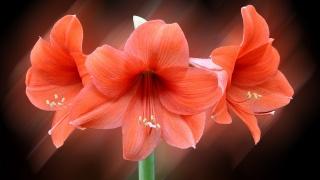 květiny, Červené lilie
