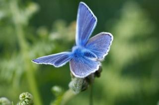 motýl, мохнатая, modrá