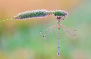ráno, příroda, makro, foto, vážka, rosa, kapka, voda