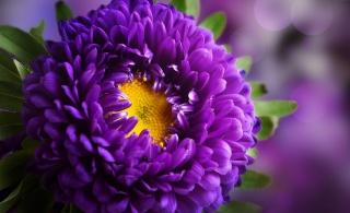 květina, astry, Fialová, makro, photoshop