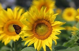 makro, foto, téma, pole, slunečnice, motýl, léto, květina, krásně