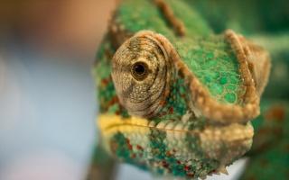 chameleon, příroda, makro