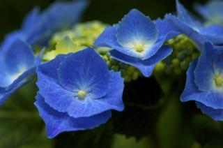hortenzie, modrá, květenství, keř