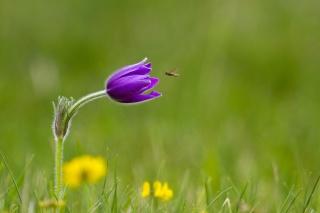 makro, příroda, květina, Fialová, včela, zelené pozadí