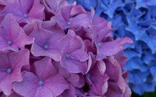 květiny, hortenzie, květenství, Fialová