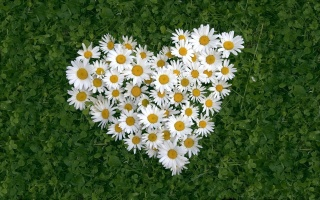 flowers, white, chamomile, heart