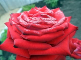 růže, červená