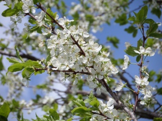 tree, lilac, White