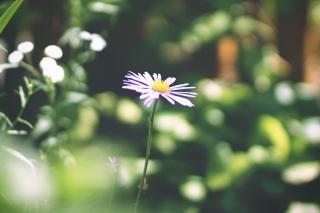 květina, makro, krásně, Fialová, sám