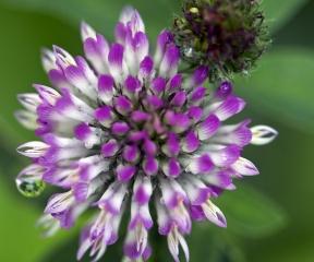 clover, flower, beauty