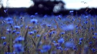 Василек modrá, květiny, krása, pole