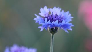 Василек modrá, krása, květiny