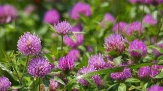 jetel, květiny, pole, zeleň, krása