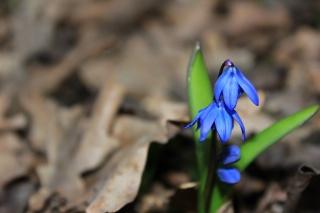 пролесок, jaro, háj, květina