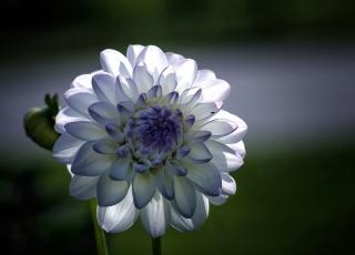 květina, георгин, bílé, Modré, okvětní lístky, makro, zaměření