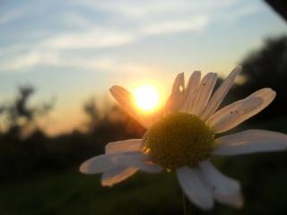 лето, солнце, ромашки