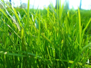 zelená tráva, trávník, zeleň