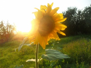 summer, the sun, sunflower, nature