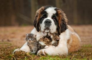 собака, кішки, кошенята, сенбернар, природа, позитив