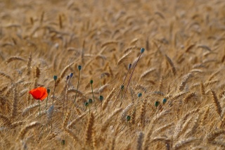 nature, macro, Maki, wheat, field, Ukraine, Texture