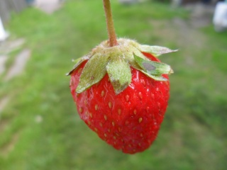 léto, příroda, jahody, červená