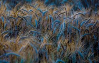 природа, пшеница, колосья, лето, красиво, краска, синий, Украина, макро, фото