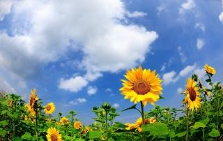 léto, pole, подсолнух, příroda, květiny, nebe, mraky, Ukrajina