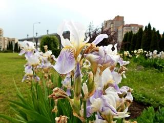 квіти, Гродно