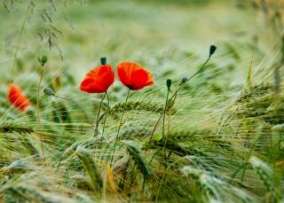 pšenice, pole, příroda, květiny, maki, Askania nova, Květen, 2014, jaro