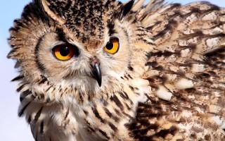 пугач, очі, клюв, пір'я, краса, птиця