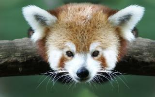 червона панда, морда, очі, вуха, вуса, гілка, краса