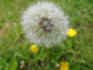 квіти, одуванчик
