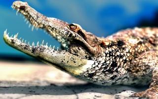 Крокодил, пащу, зуби, хижак, макро, фото