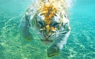 золотий, тигр, під водою, кішка, злість, вода, бульбашки