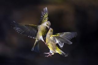 природа, птахи, політ, макро, фото