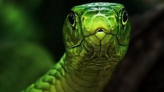 природа, макро, фото, Зелена, змія