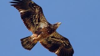 яструб, крила, клюв, хвіст, небо
