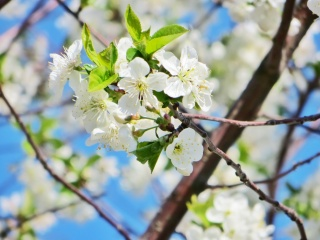 flower, flowers, petals, day, beautiful, silence, the sun, sunset, spring, white, greens, cherry, the sun, beautiful