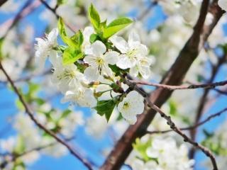 květina, květiny, okvětní lístky, den, krásně, ticho, slunce, západ slunce, jaro, bílá, zeleň, třešeň, slunce, krásně