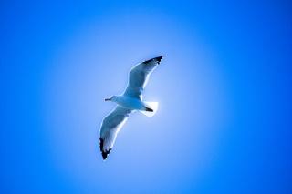птиця, чайка, небо, політ, крила