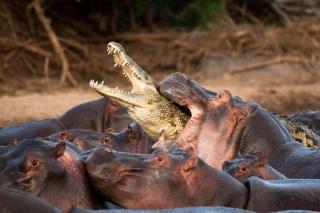 Africa, Crocodile, Hippo, attack, the attack, the river, animals